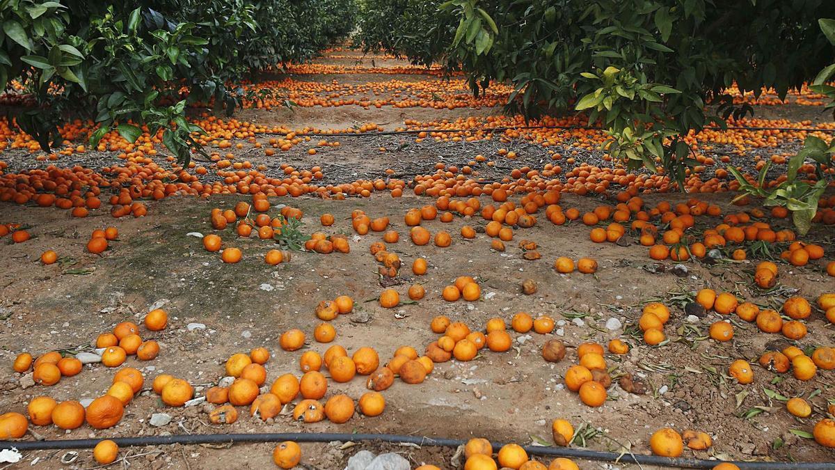Un campo de Algemesí, con la cosecha por los suelos ante el escaso valor de la naranja, en una imagen de archivo.   VICENT M. PASTOR
