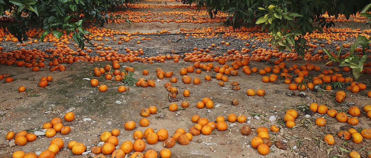 Un campo de Algemesí, con la casecha por los suelos ante el escaso valor de la naranja, en una imagen de archivo.   VICENT M. PASTOR