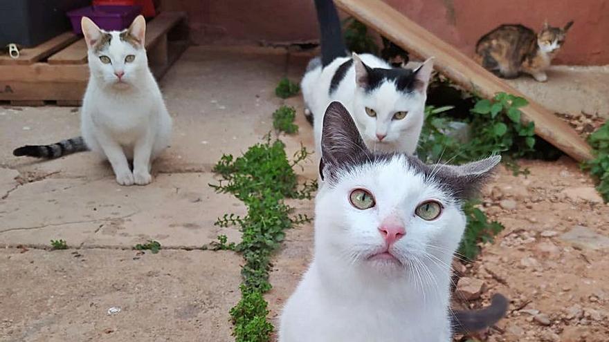 La protectora de Albal ha esterilizado a 20 gatos en Santa Anna