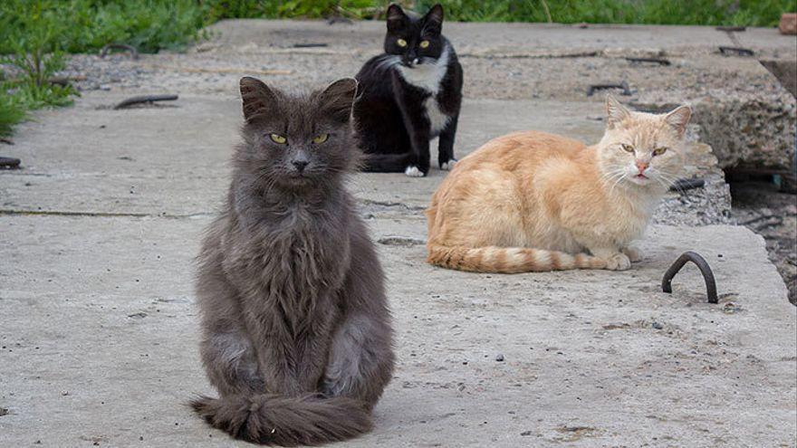 Investigan a un vecino de La Palma por la muerte de más de veinte gatos envenenados