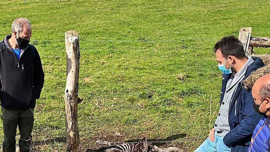 """Los ganaderos de Castropol, desesperados con el lobo: """"Nunca hubo tantos daños"""""""