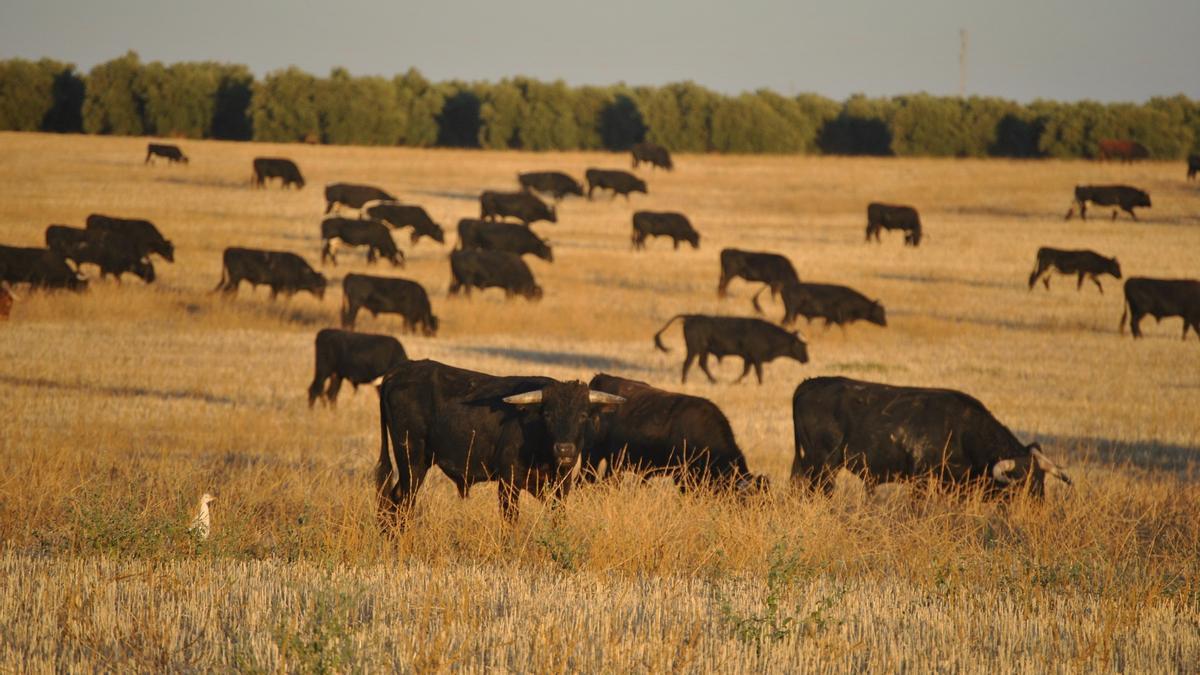 Imagen de archivo de una ganadería de toro de lidia.