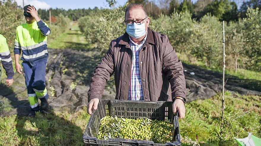 Una veintena de olivareros de A Estrada se asocian para afianzar el sector y avanzar hacia la almazara