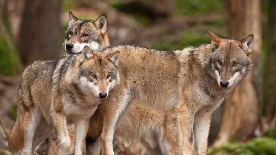 El Senado rechaza una moción del PP para retirar al lobo ibérico como especie protegida