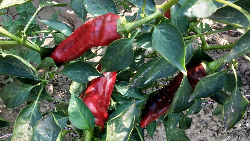 Els pebrots, els fruits de la pebrotera, s'utilitzen a la gastronomia de molts països del món.