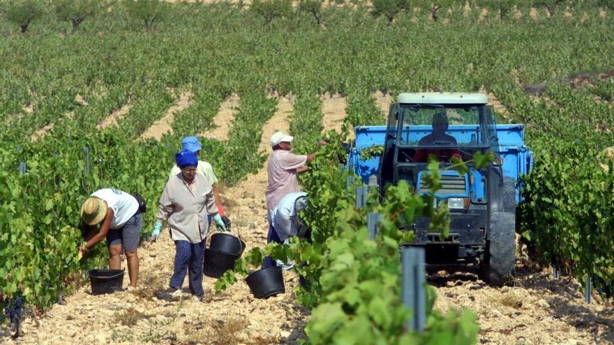 La campaña de la DOP de Bullas alcanzará las 4.300 toneladas de uva