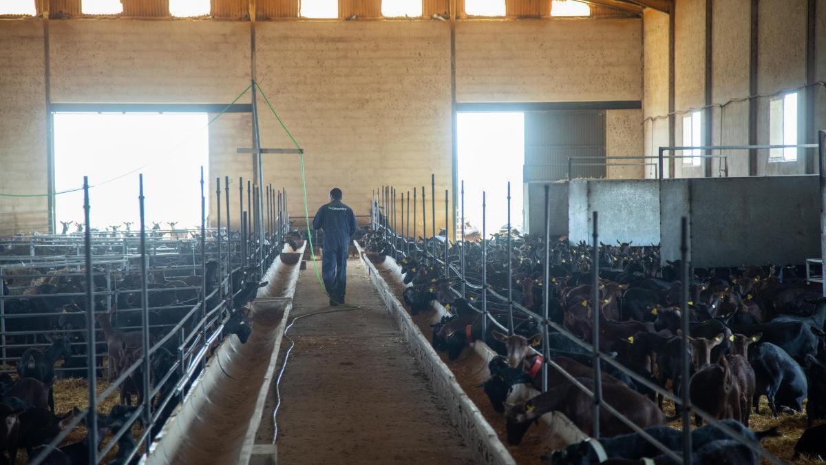 Una granja caprina con decenas de ejemplares en Caravaca de la Cruz.