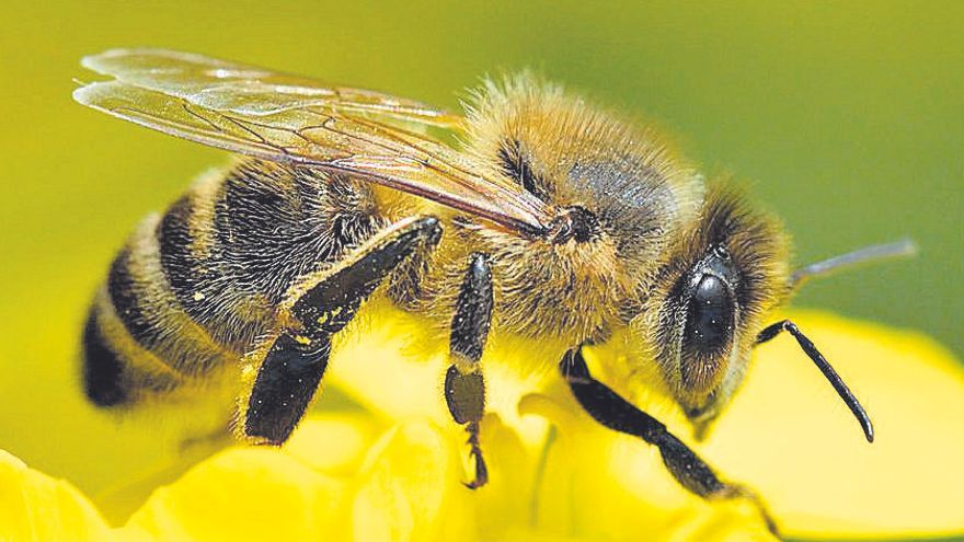 Les abelles amb cervells més grans aprenen millor