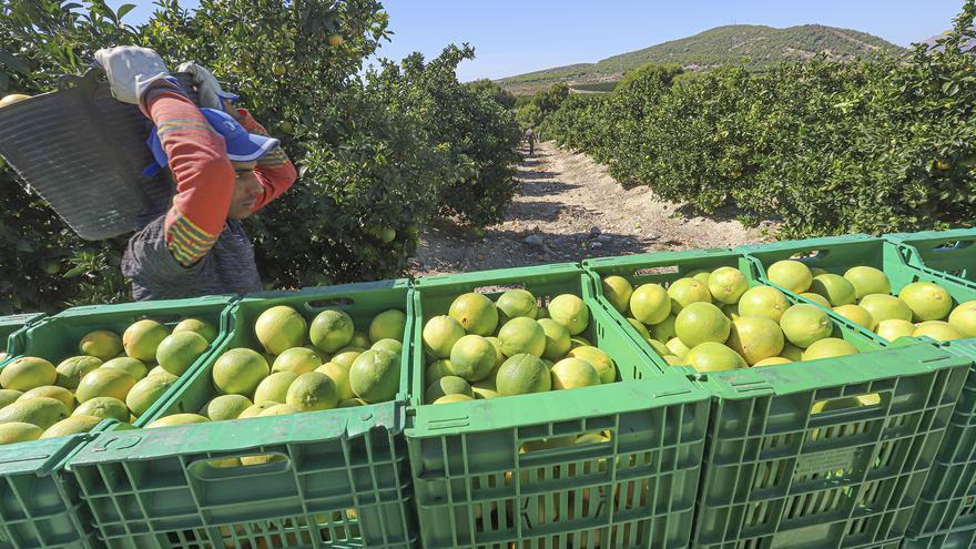 Asaja augura una sentencia de muerte para las clementinas de la Comunidad si no se renegocia con Sudáfrica