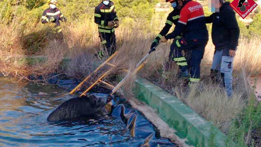 Así fue el rescate de un jabalí que cayó en una balsa de riego de Calp
