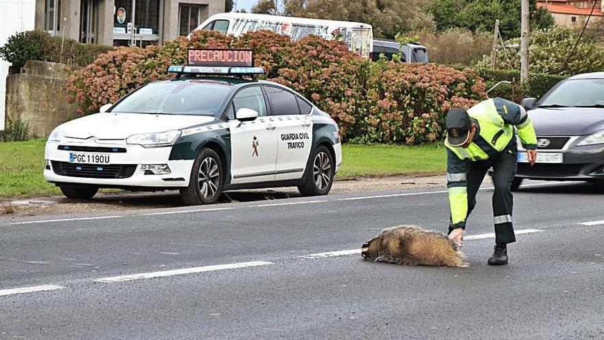 Los animales causan ya el 40% de los accidentes de tráfico en Galicia, con una media de 14 al día