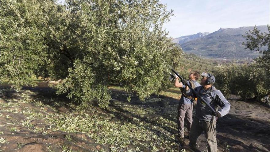 La Junta activa este lunes un teléfono de atención por la Xylella del olivar