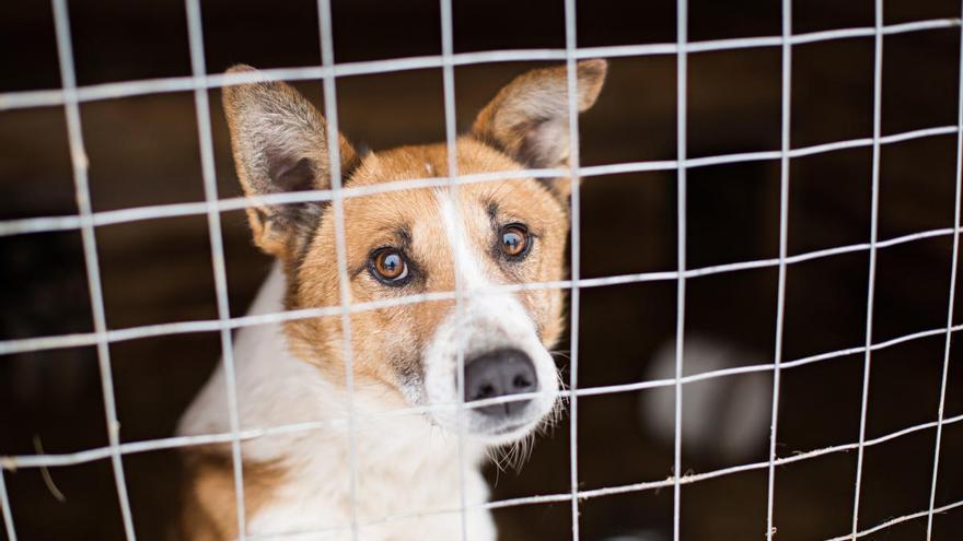 Callosa se queda sin la recogida de animales domésticos abandonados por impago del Ayuntamiento