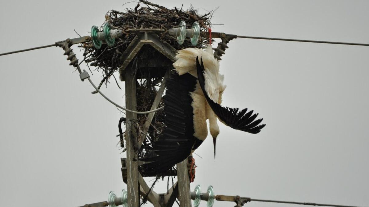 20 medidas para frenar la muerte de aves en tendidos eléctricos