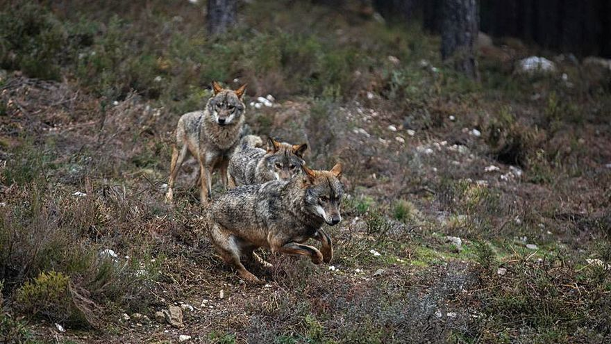 Bruselas apuesta por conciliar la protección del lobo y la ganadería