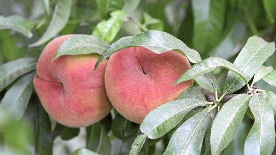 Mallorca-Pfirsiche - die Kunst der spätmöglichsten Ernte