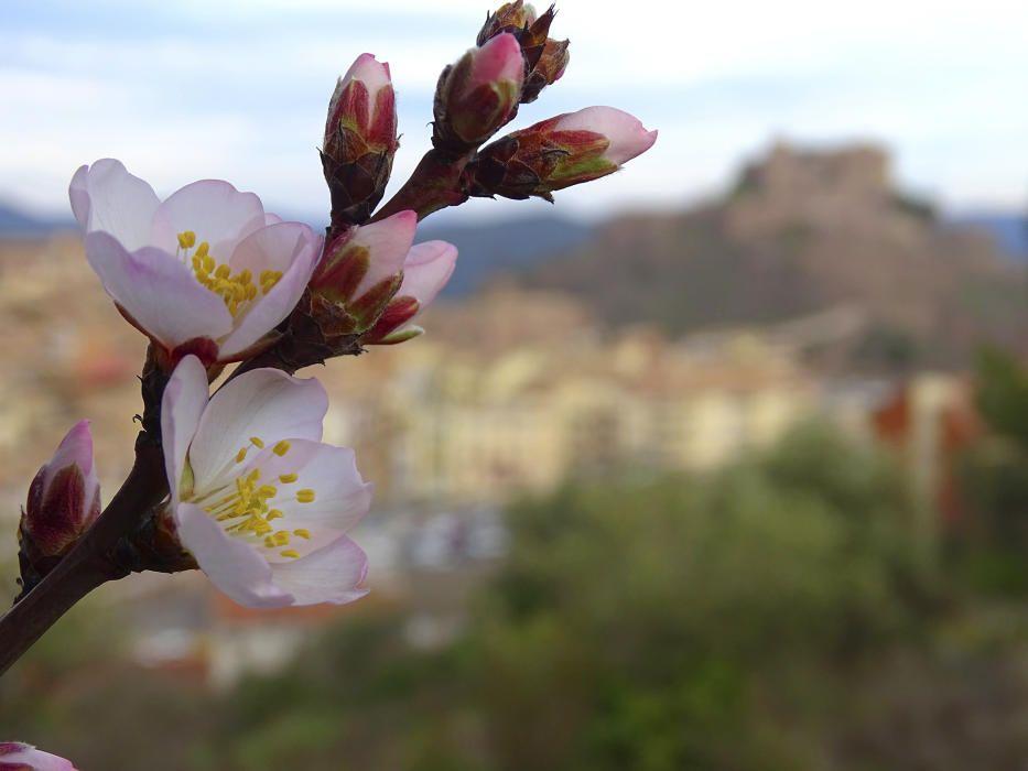 Primeres flors dels ametllers que florien el dia 30 de gener a Cardona.