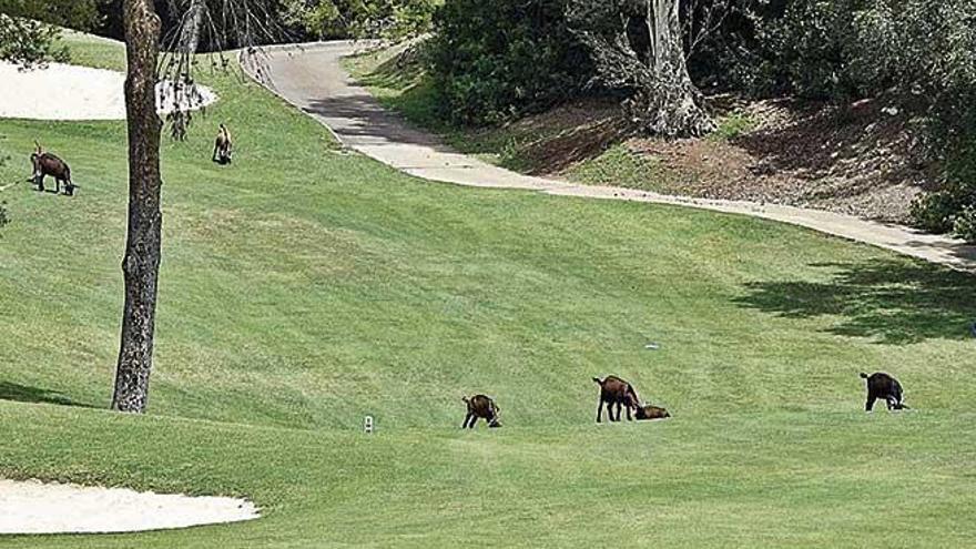 Cabras salvajes al asalto del golf