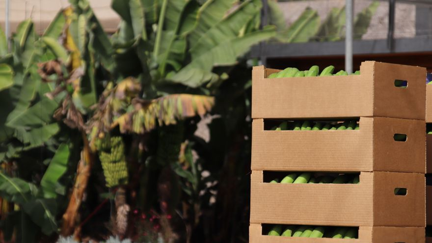 Canarias abona 74,8 millones de euros a los productores de plátano con IGP y de tomate
