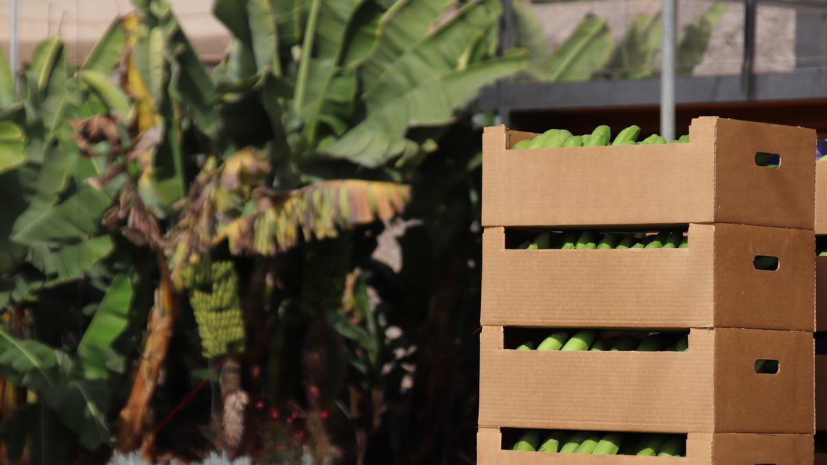 El Gobierno de Canarias abona 74,8 millones de euros a los productores de plátano con IGP y de tomate