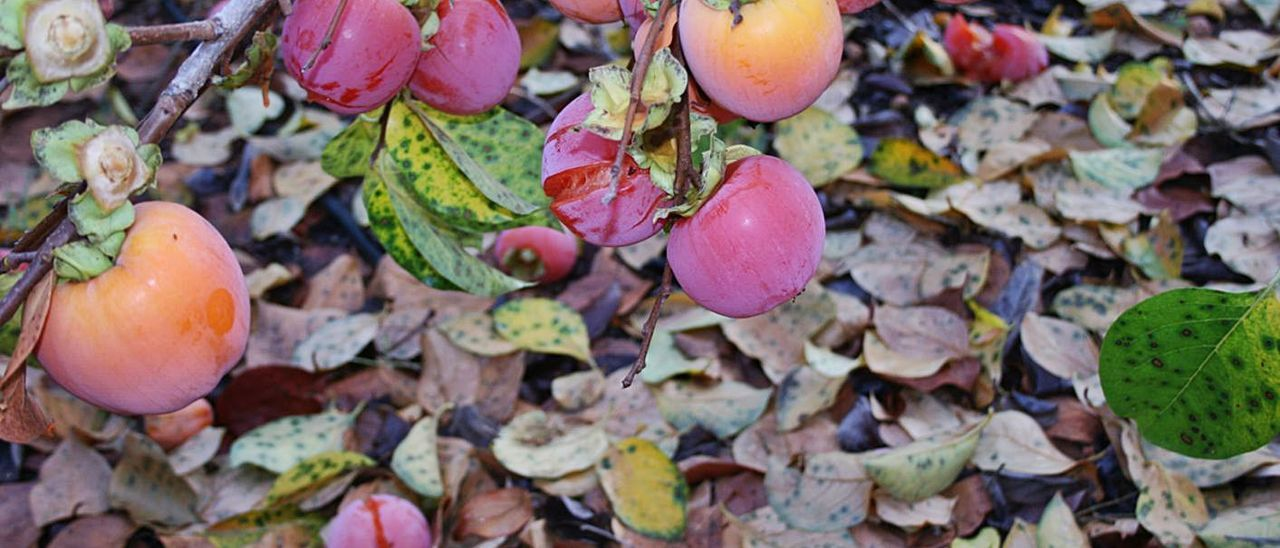 Una plantación afectada por el hongo que provoca la caída de hojas y la maduración del caqui. | AVA