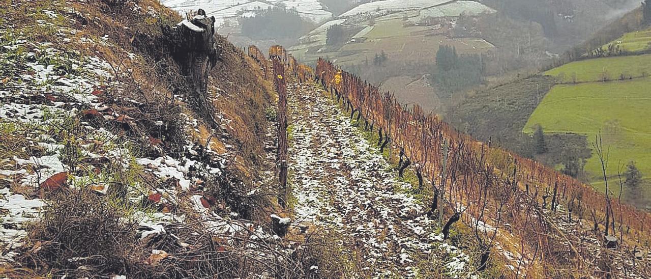 Nieve en viñedos en Cangas del Narcea.