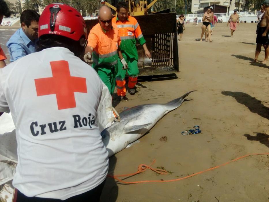 Retirada del ejemplar de delfín mular hallado hoy en las calas de Torrevieja