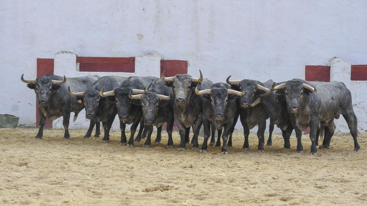 Adolfo Martín ha traído a Castellón las joyas de la corona de su ganadería.