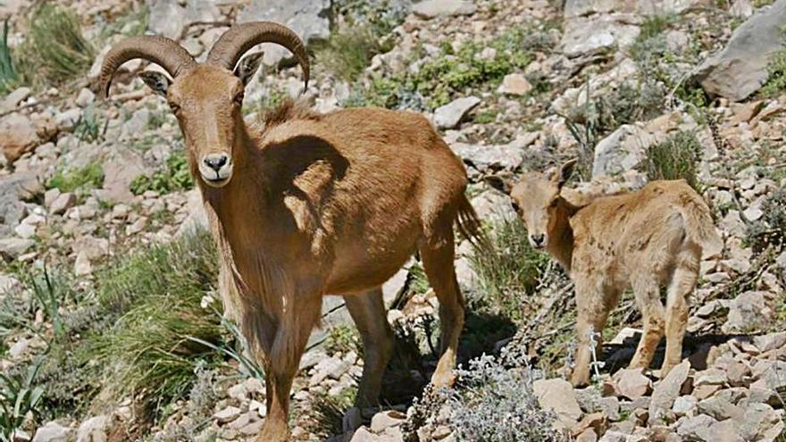 Los ecologistas, favorables  al control del arruí, piden «conciencia» a los cazadores