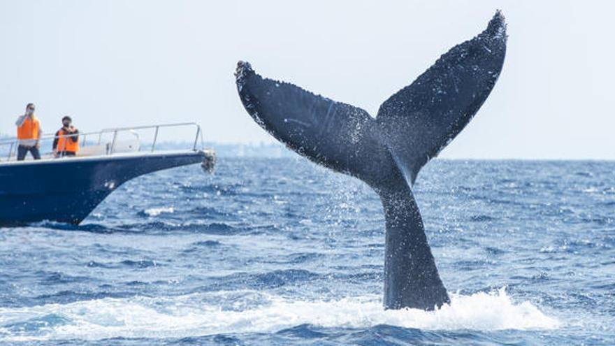 Japón reanudará la caza comercial de ballenas