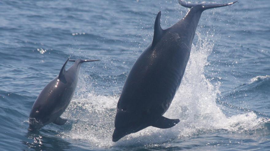 Estudian el 'silbo' canario para aprender el lenguaje de los delfines