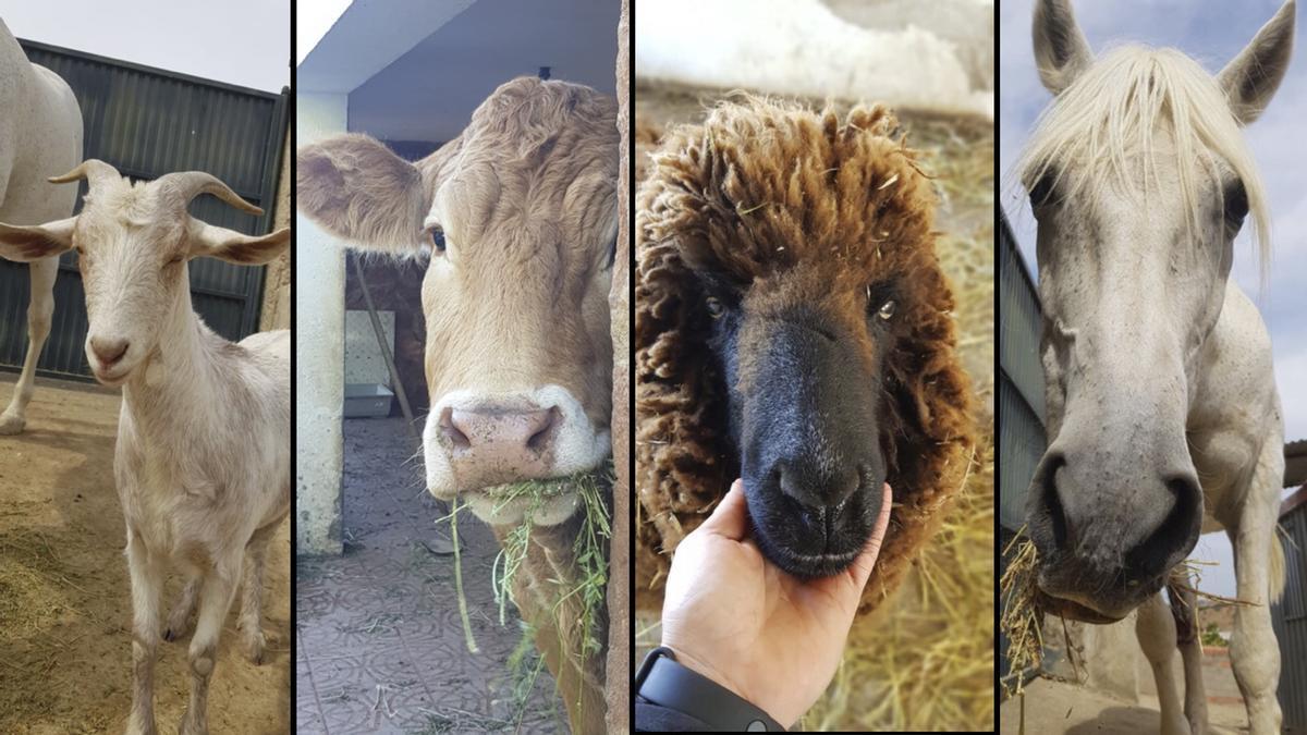 """Mika, Miki, Ilaria y Apache, cuatro de los animales 'no mascotas' que los voluntarios cuidan para que al menos puedan tener una """"vida decente""""."""