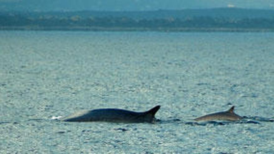 Avistan tres ballenas en aguas del Parque Nacional de Cabrera