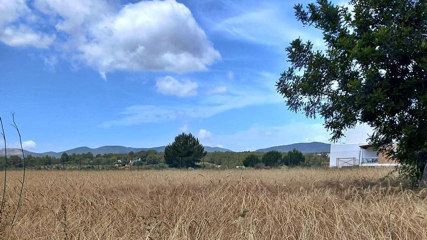 Aumenta un 140% la superficie cultivada de trigo 'xeixa' en Ibiza
