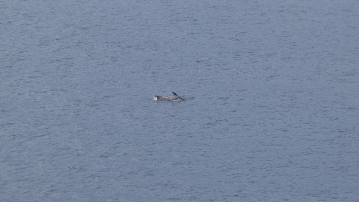 Un grup de dofins davant la costa del Port de la Selva