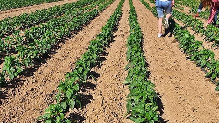 Los hortelanos temen menos producción de pimientos por las altas temperaturas