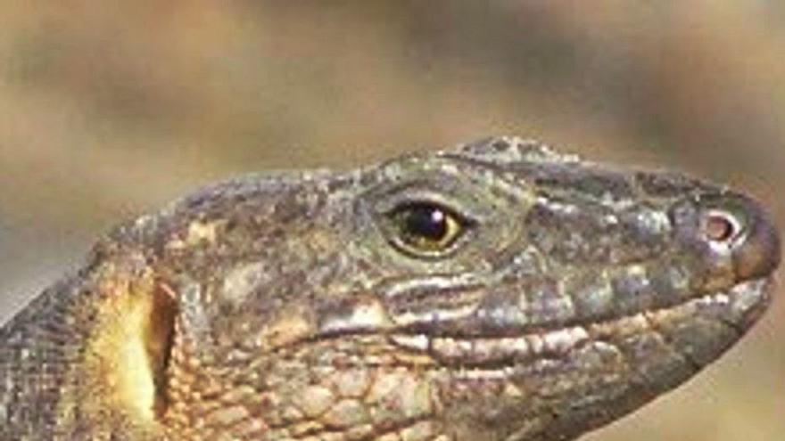 El Cabildo de El Hierro libera medio centenar de lagartos gigantes en la Punta de Agache