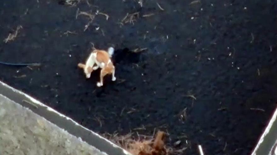 Atrapados por el volcán: así sobreviven los perros antes de su rescate con drones gallegos