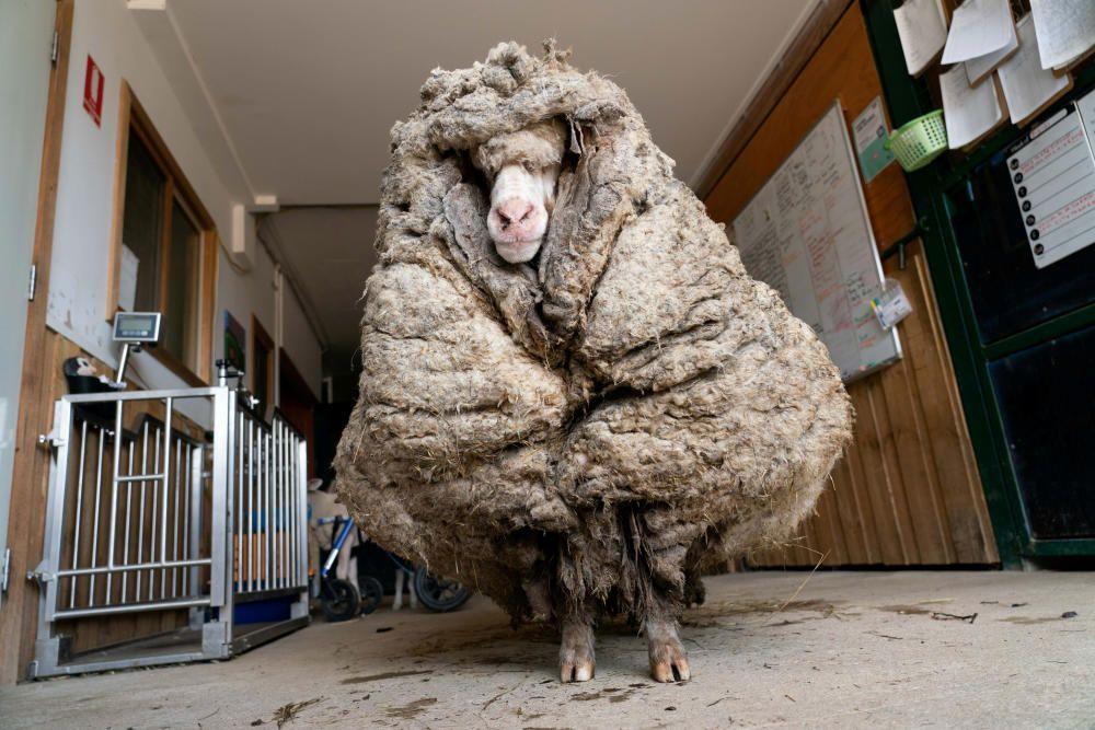Una oveja de lana negra en Australia.