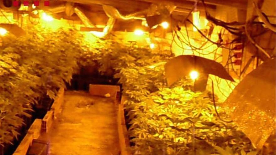 Cinco detenidos y seis plantaciones de marihuana desmanteladas en Girona