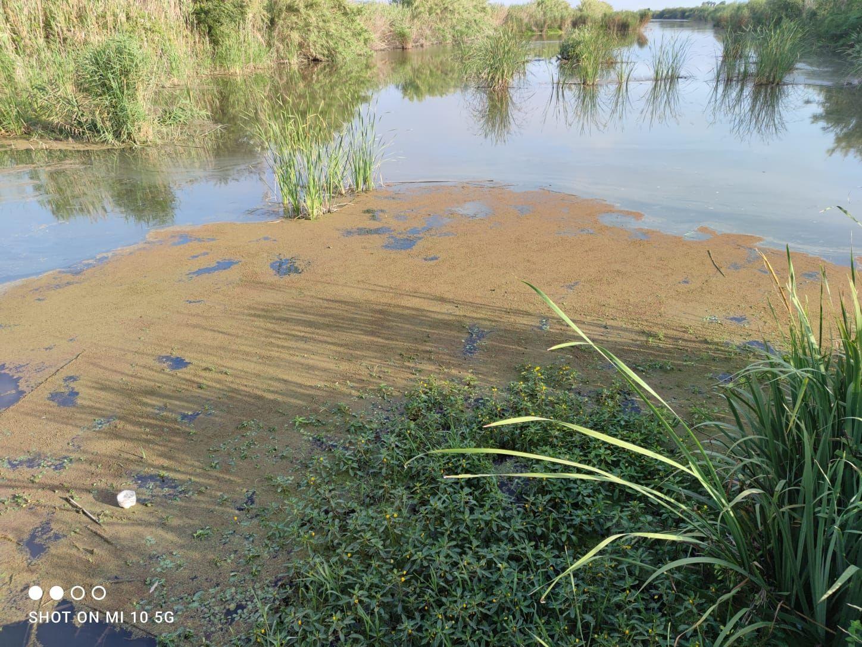 Una alga cubre de verde la desembocadura del río Vaca entre Xeraco y Tavernes