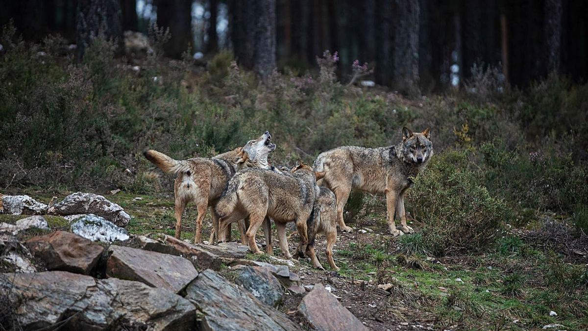 Ejemplares de lobo ibérico en el Centro del Lobo de Robledo. | Emilio Fraile