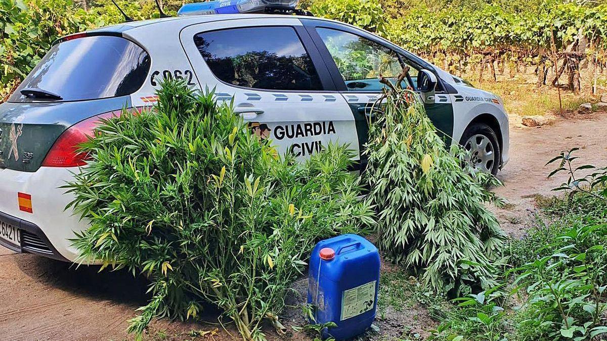 Plantación de marihuana en Vietie.