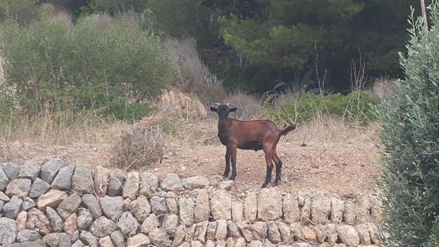Ziegen wagen sich bis ins Zentrum von Calvià