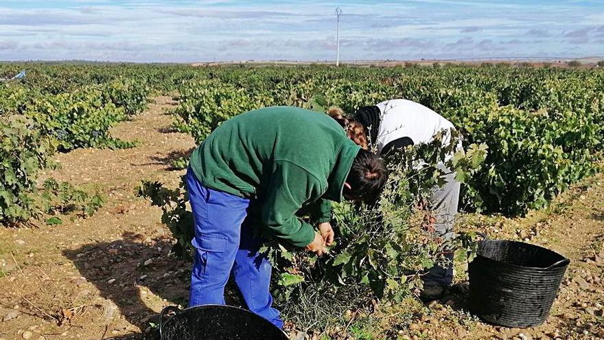 La vendimia y el turismo reducen en un 13% la tasa de desempleo en Toro
