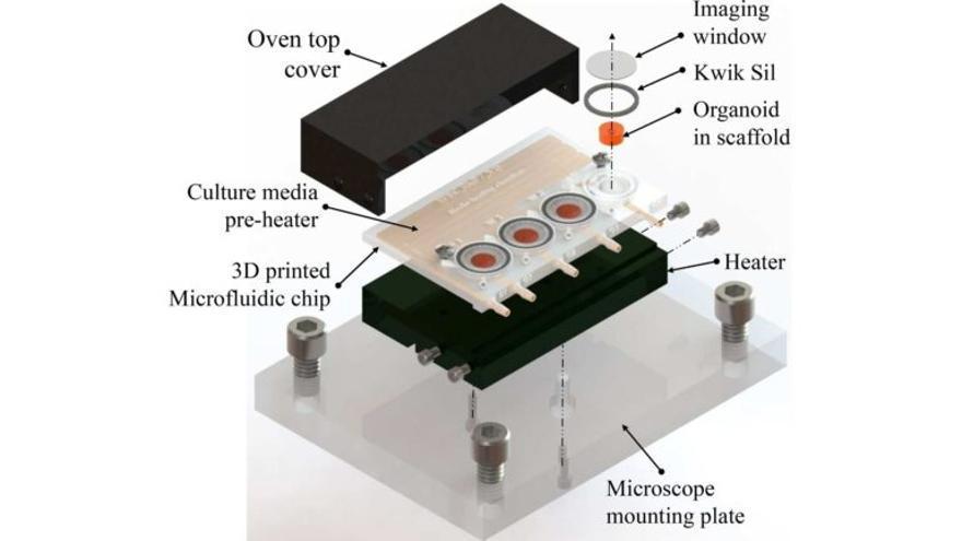 Desarrollan mini-cerebros en 3D más eficientes y económicos