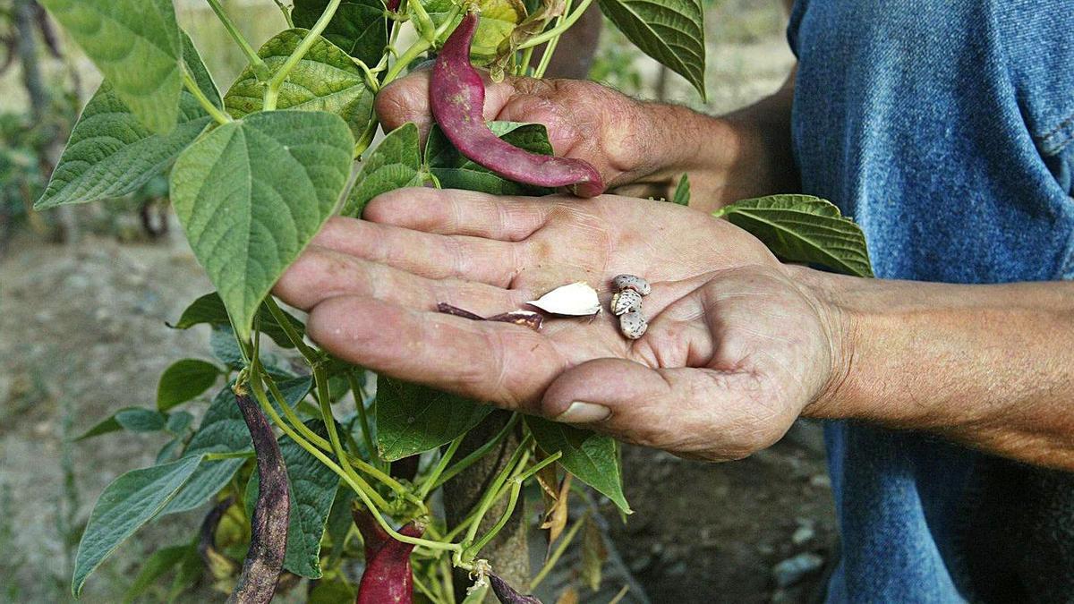 Cultivo de la alubia en la comarca benaventana.