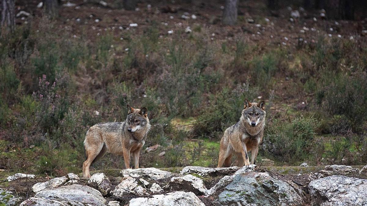 Dos lobos en semicautividad en el Centro del Lobo Ibérico de Robledo. | Emilio Fraile