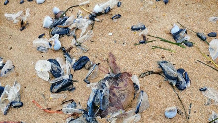 Miles de inofensivas falsas medusas llegan a la Vega Baja