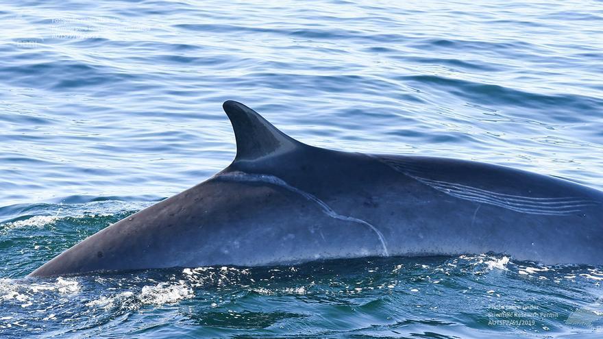 Constatan que las orcas gallegas atacaron a otras ballenas